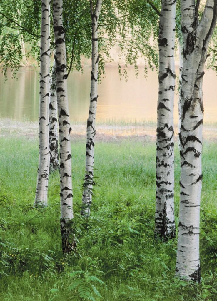 Fototapete birkenwald nordischer wald nordic forest for Tapete birkenwald
